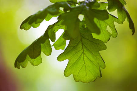 young tree: green oak leaves