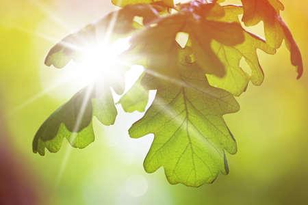 arbol roble: hojas de roble en el sol de primavera