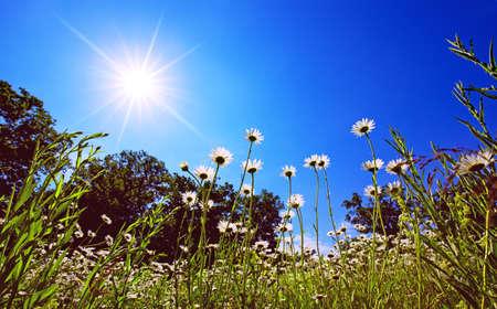 ox eye: oxeye daisy in the morning sun Stock Photo