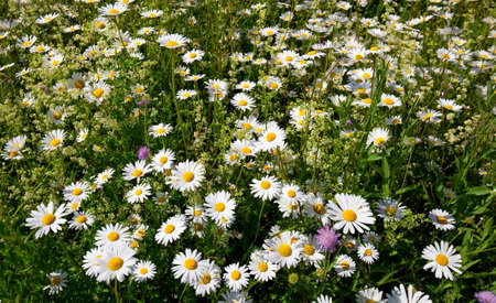 ox eye: meadow with blooming oxeye daisy flowers