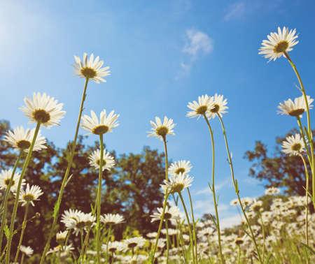 marguerite: prairie avec la floraison des fleurs de marguerite oxeye Banque d'images