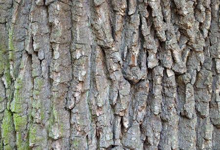 oak: detail of oak tree bark