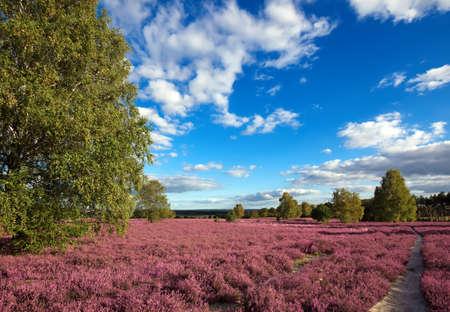 heather: pink heather landscape with a blue sky