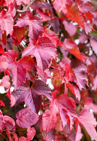 hojas parra: hojas de vid roja en oto�o