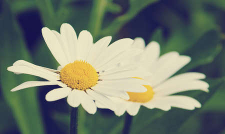 ox eye: blooming oxeye daisy flowers with vintage style
