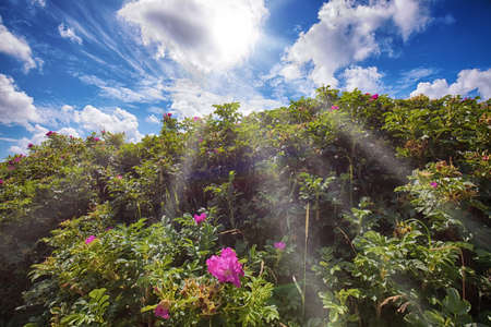 rosa rugosa against the sun Stock Photo