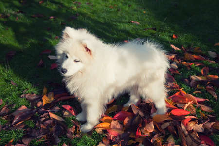 samoyed puppy on the lawn in autumn