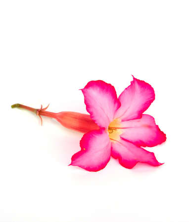 Desert rose on isolated white background photo