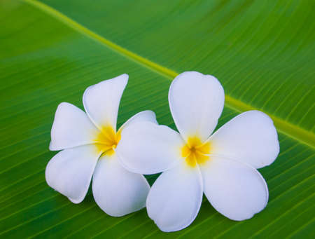 Plumeria flowers on banana leaf background  photo