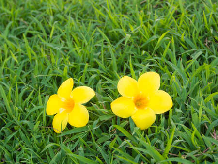Allamanda on green grass. photo