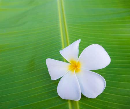 banana leaf: Single plumeria on banana leaf