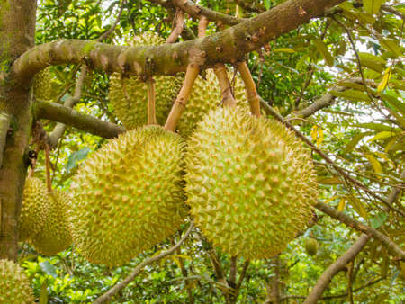 Fresh durian on its tree in the orchard
