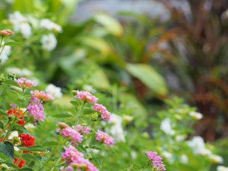 noxious: Lantana flowers  Stock Photo