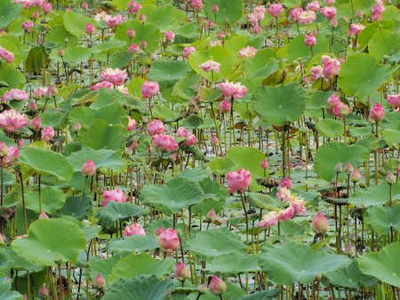 many pink lotus flower in the water among the green leaves  photo