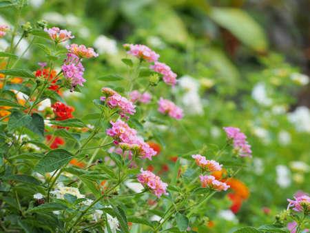 lantana: lantana flower  Lantana camara  Stock Photo