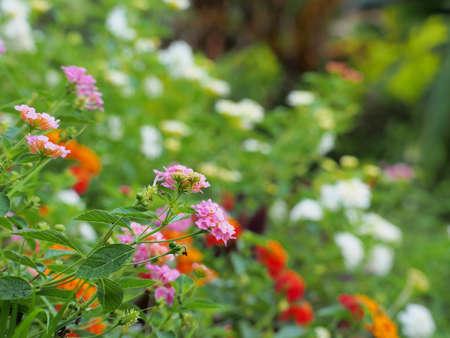 lantana: Lantana flowers  Stock Photo