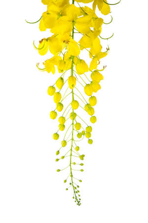 cassia: Cassia fistula flower isolated on white background