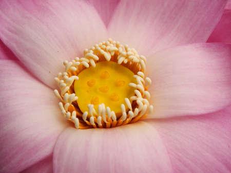 Pollen lotus  photo