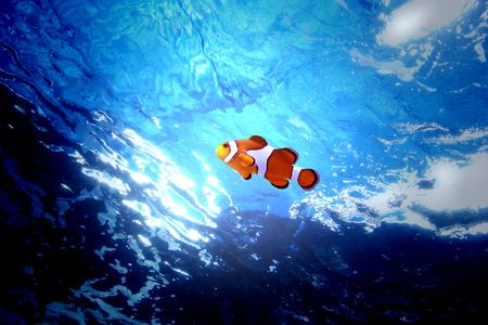 clown fish swimming alone Stock Photo - 5515033
