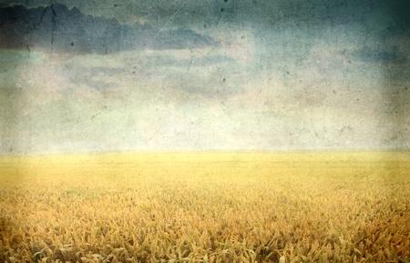 espiga de trigo: Punto de vista de la vendimia de un campo de trigo