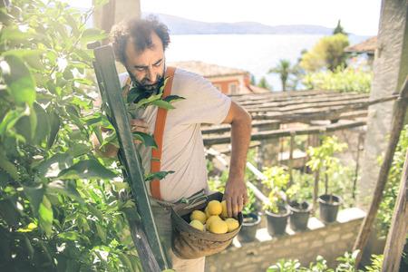 Man collecting some lemons Stok Fotoğraf