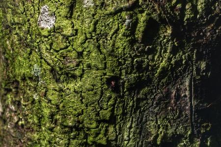 texture: Lichens texture .