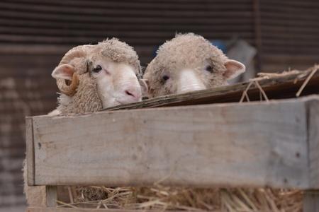 pecora: Pecore in azienda agricola.