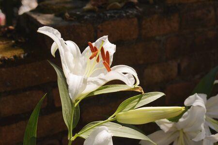 white lily: lirio blanco en la luz del d�a