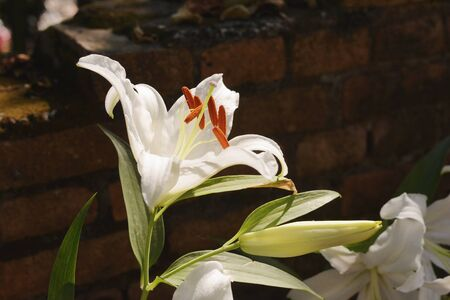 white: White lily in daylight