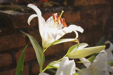 white: White lily in garden 2