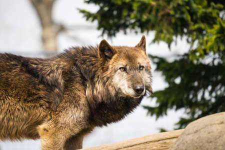 Wolf   in japans zoo 스톡 콘텐츠