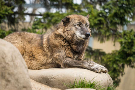 The Wolf resting in japan's zoo 스톡 콘텐츠