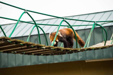 Ailurus fulgens in japans zoo 에디토리얼