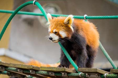 Ailurus fulgens in japans zoo 스톡 콘텐츠