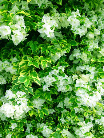 White Bougainvillea and Green yellow leaf Stock Photo