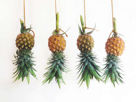 Pineapples hanging, white back ground