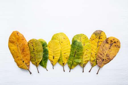 lifecycle: Hojas verdes y amarillas del anacardo en el fondo blanco. Con copia espacio. aislar