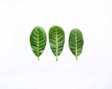 Green leaves yellow veins of  Cashew on white wooden background and copy space. Stock Photo