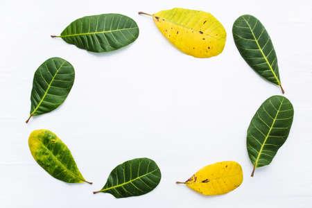 lifecycle: Capítulo, hojas verdes y amarillas del anacardo en el fondo blanco. Con copia espacio. aislar