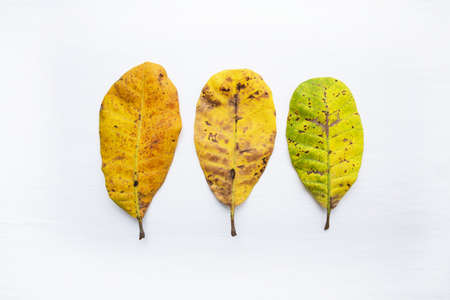 Yellow leaves of  Cashew on white background. With copy space. isolate