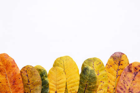 Green and yellow leaves of  Cashew on white background. With copy space. isolate Stock Photo