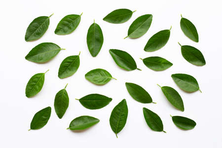 Green lime leaves on white background. 版權商用圖片