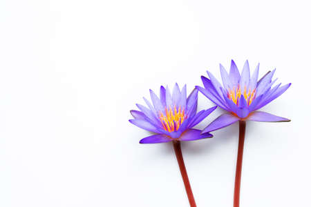 Purple lotus flower blooming on white background. Copy space Фото со стока