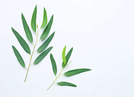 Eucalyptus leaves on white background. Banco de Imagens
