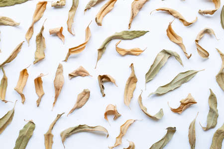 Eucalyptus dry leaves on white background Banco de Imagens