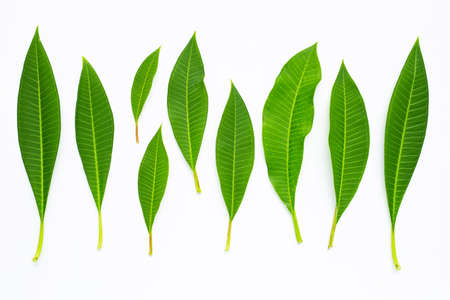 Plumeria leaves on white background. Top view