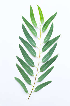 Eucalyptus branch on white background.