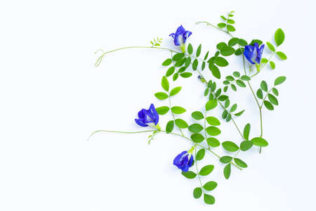 Butterfly pea flower with leaves on white background. Top view