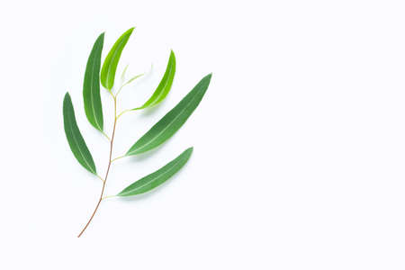 Green eucalyptus branch on white background with copy space