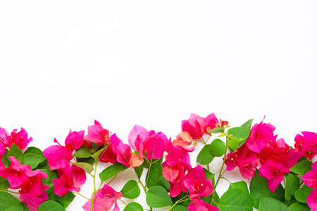 Beautiful red bougainvillea flower on white background.  Top view